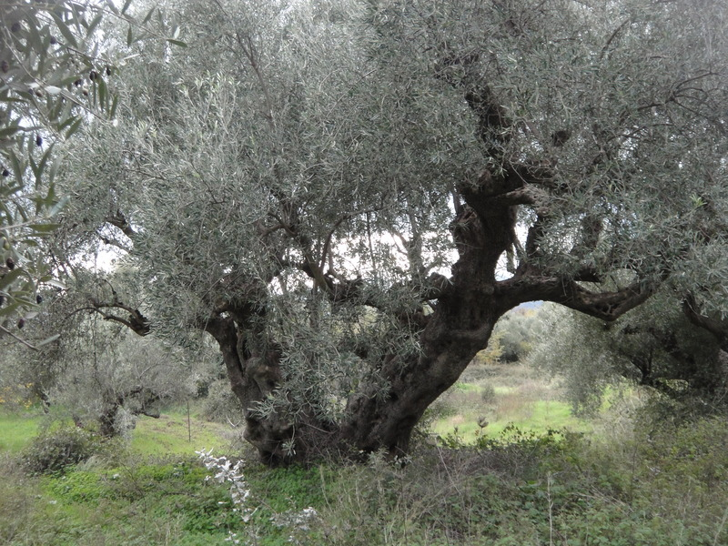 a 500 year old olive tree